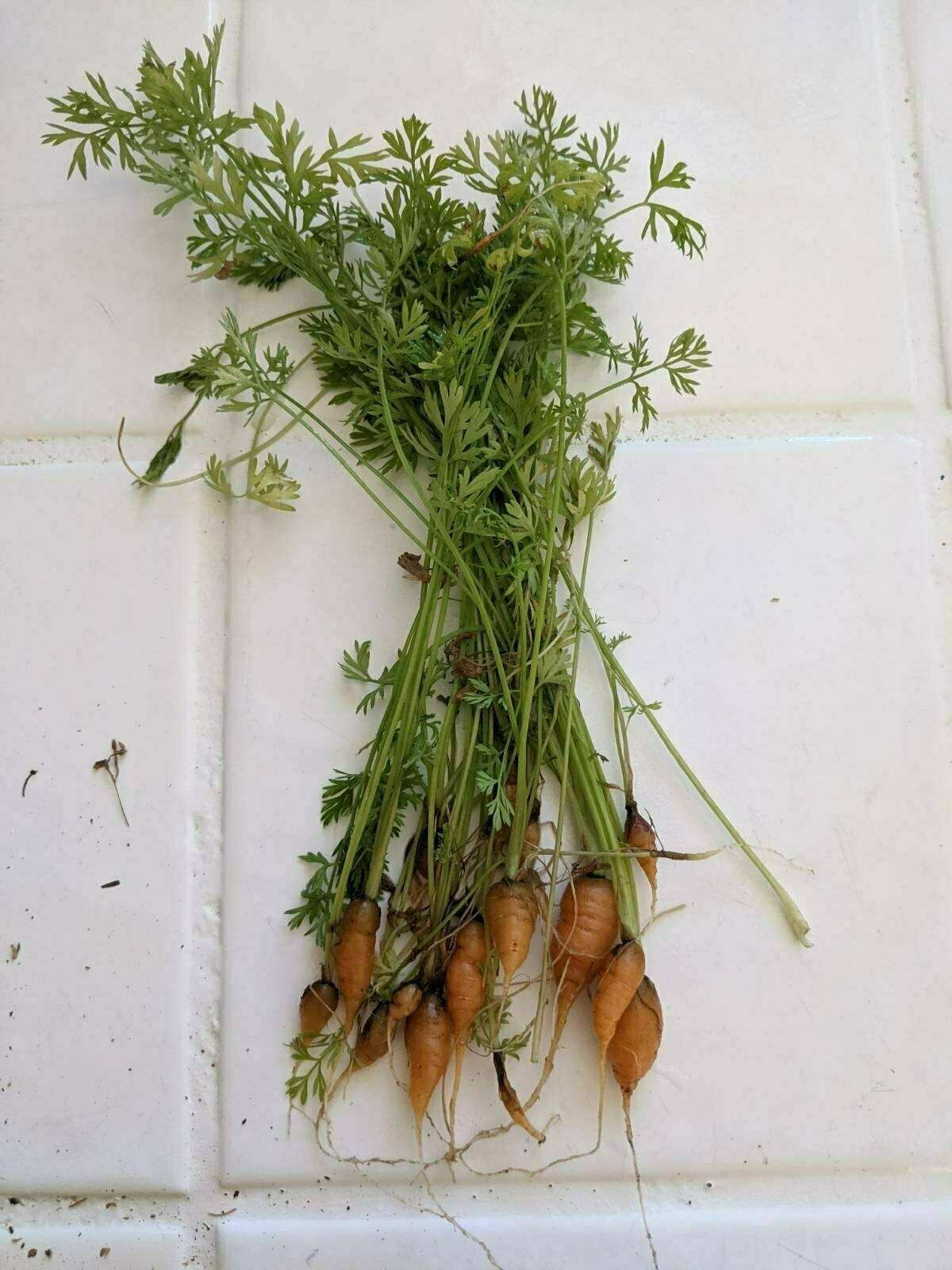 A group of young carrots sitting on a white tiled surface.