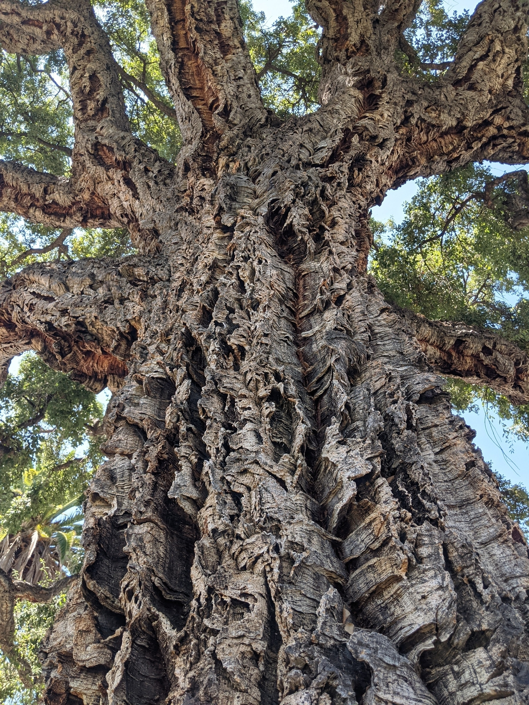 A close up of the bark of a cork oak tree looking up to the branches