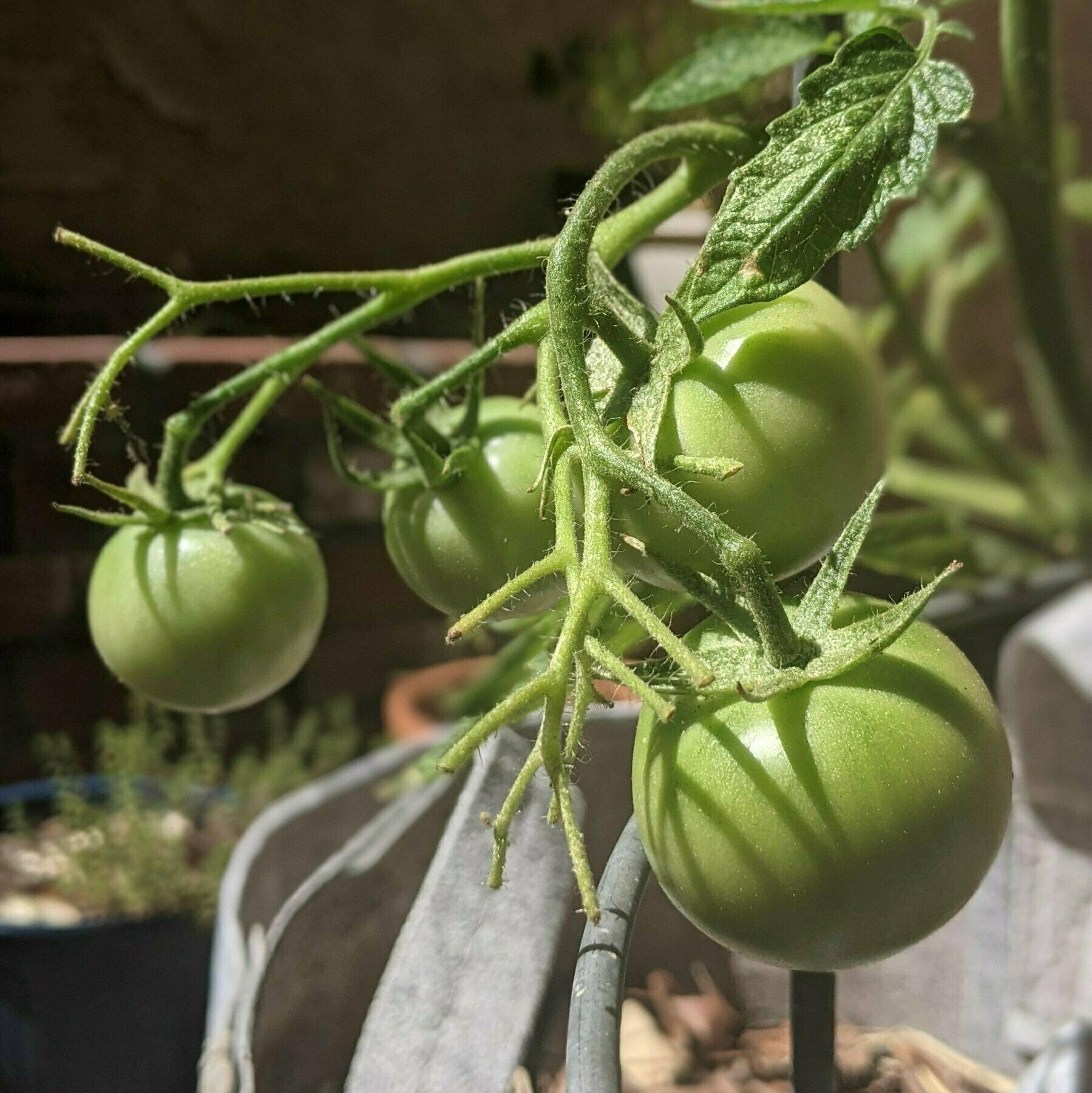 Close up of four green tomatoes growing on the vine.